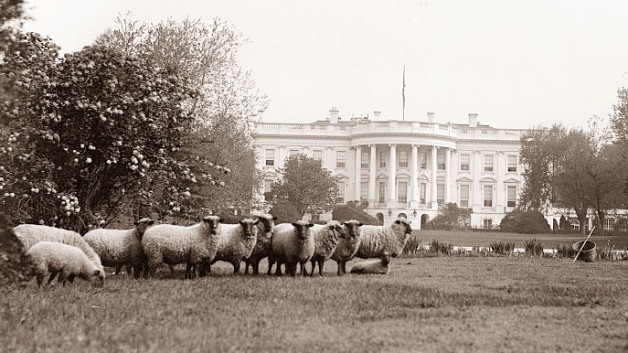 Sheep Grazing the White House Lawn circa WWI. Credit: White House Historical Assocation
