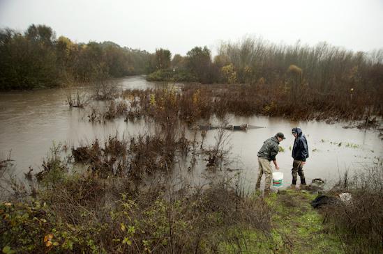 UC Davis researchers Eric Holmes and Carson Jeffres measure experimental salmon (Cosumnes River Preserve). Credit: Gregory Urquiaga