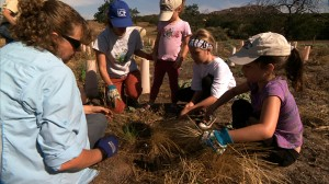 Volunteers tend to Purple Needle Grass seedlings, part of the restoration of The Crestridge Ecological Preserve in San Diego. Photo Credit: Kit Tyler