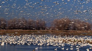 Hundreds of thousands of Snow Geese flock to restored wetlands within the Colusa National Wildlife Refuge. This is a key stopover site for the Pacific Flyway. Historically the central valley of California had millions of acres of seasonally flooded wetlands; more than 90% have been destroyed in the last century. Photo Credit: Kit Tyler